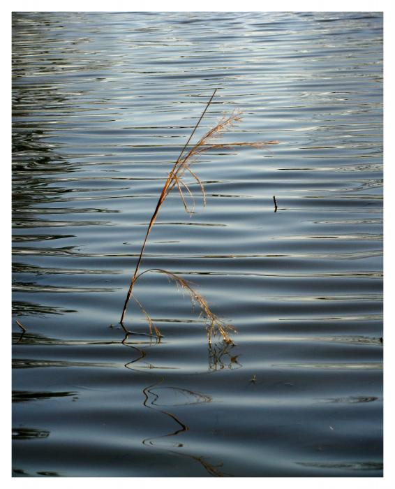 Water Reed Photograph - Water Reed Fine Art Print - Dawn Davis,