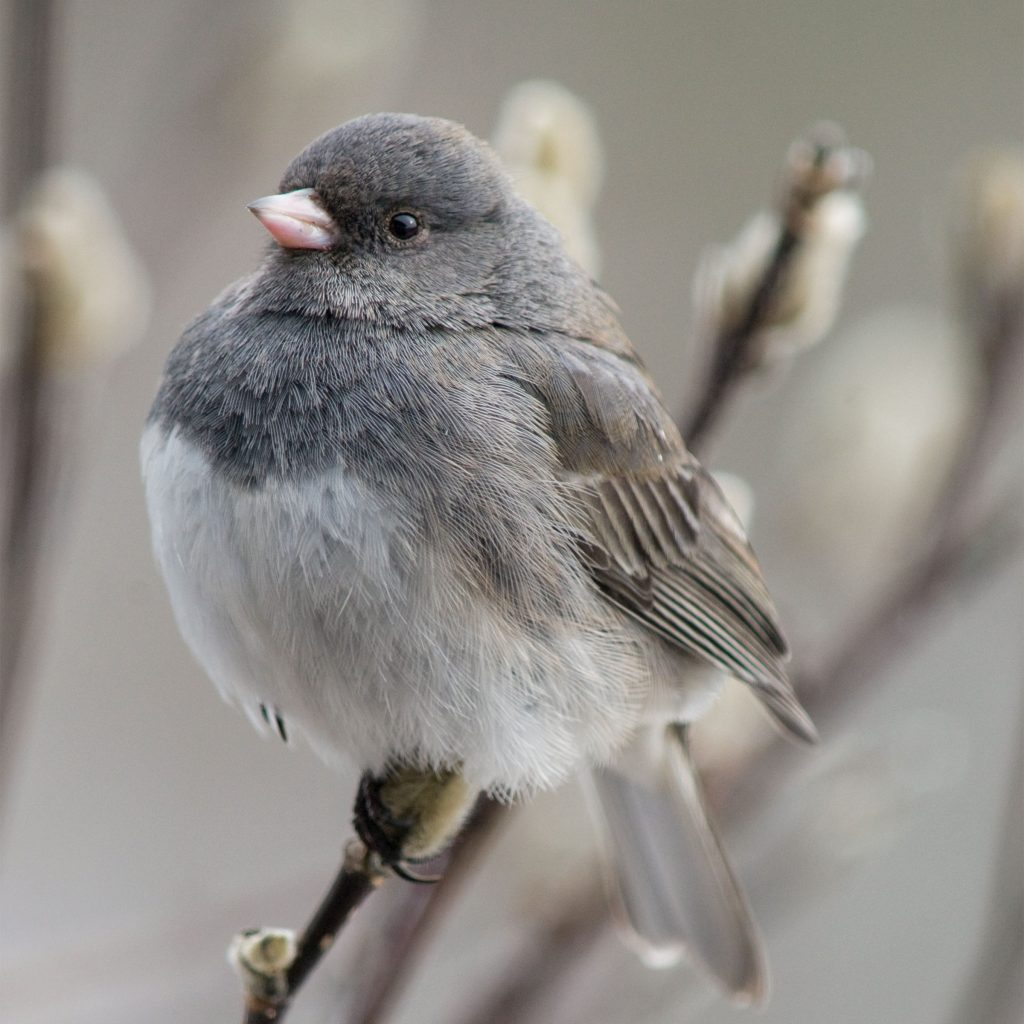 Dark-eyed Junco (birb). Photo: Michele Black/Great Backyard Bird Count