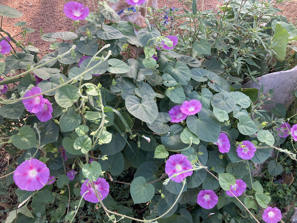 morning glories in our garden